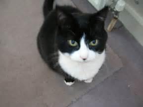tuxedo cats file tuxedo cat jpg