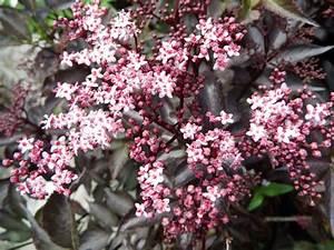 Holunder Black Beauty : wildobstschnecke sambucus nigra black beauty gerda s schwarzer holunder ~ Frokenaadalensverden.com Haus und Dekorationen