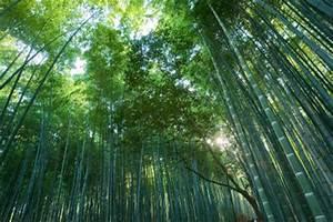 Wie Schnell Wächst Bambus : wie schnell w chst bambus das sollten sie wissen ~ Frokenaadalensverden.com Haus und Dekorationen