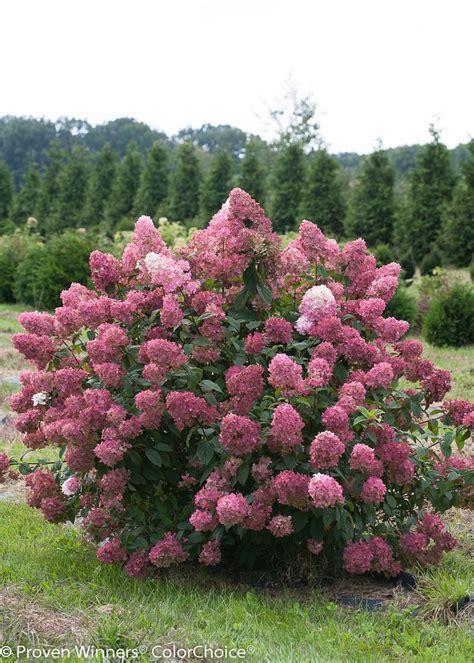 summer flowering shrubs sun fire light 174 panicle hydrangea hydrangea paniculata gardens sun and summer