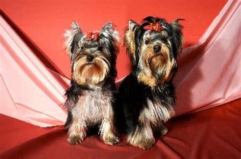 put ponytails   dog pets