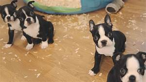 Boston Terrier Puppies - Week 6 | FunnyDog.TV