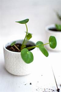 Pilea Pflanze Kaufen : pilea vermehren mit baby pflanzen von fr ulein selbstgemacht ~ Michelbontemps.com Haus und Dekorationen