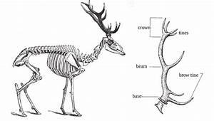 Animal Skeleton And Basic Morphology Of Red Deer Antlers