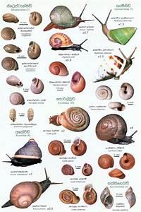 Sri Lankan Snails  A Popular Colour Guide  Sinhala