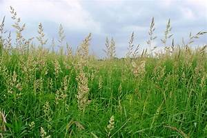 Invasive plant profile: Reed canary grass | Wisconsin ...
