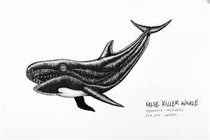 False killer whale – OceanSounds e.V.