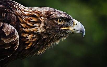 Eagle Imperial Eastern Birds Animals Nature Backgrounds