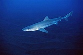 Galeorhinus galeus – Discover Fishes