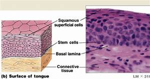 Lecture 2  Cells And Tissue