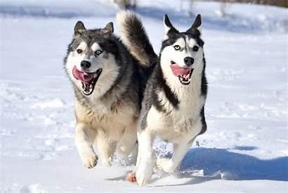 Siberian Huskies Wallpapers Pc