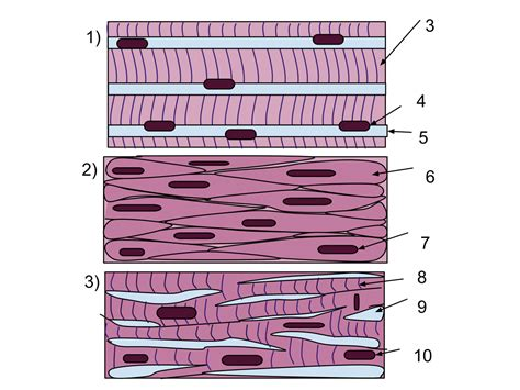 This smooth muscle can be found this systematic layering of smooth longitudinal muscles and circular smooth muscles contribute to the body's ability to push fluids through its. Muscle tissue - Wikipedia