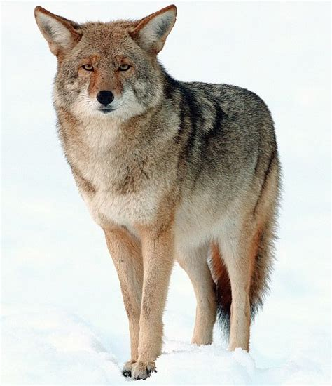 Images Of A Coyote Coywolves Taken The Northeast Business Insider