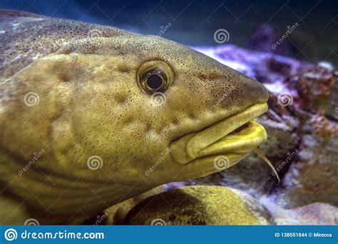 Atlantic Cod - Gadus Morhua. Marine Fish. Stock Photo - Image of baltic, codling: 138551844
