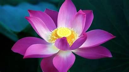 Lotus Flower Flowers Mud Wallpapers Painting Purple