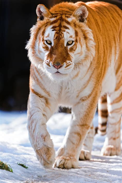 golden tiger walking the snow animals tigers