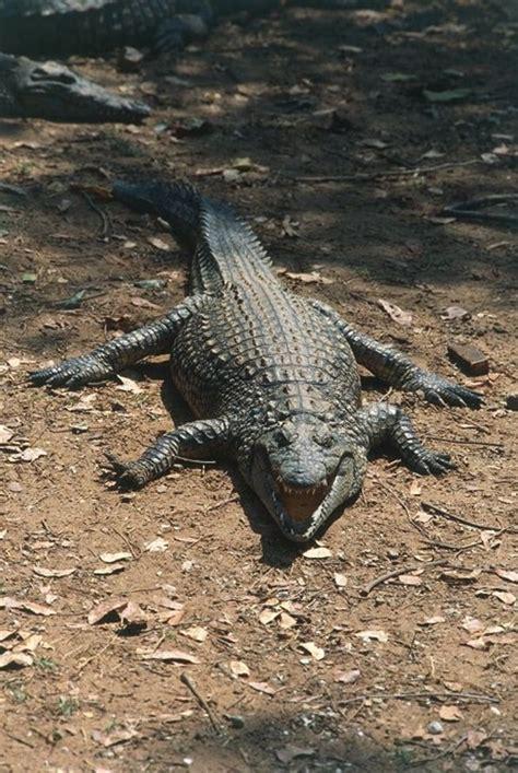 coccodrillo del nilo la vita   predatore coccodrillo del nilo  kenya sapereit