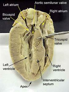 Science U0026life  Heart Dissection