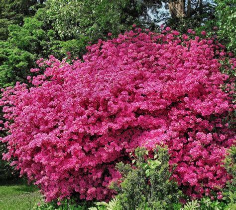 arbuste en pot plein soleil d 233 coration arbuste plein soleil clermont ferrand 3931 arbuste a fleur jaune pompon arbuste