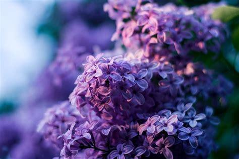 photo  purple  lilac flower violet flowers