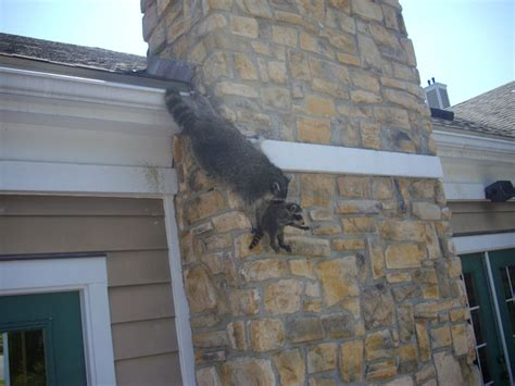 raccoon trapping removal  control