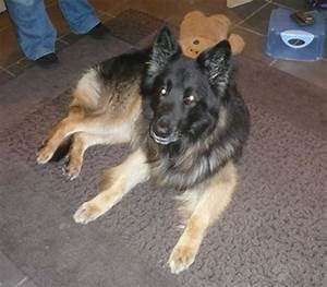 german shepherds for rehoming in the south west