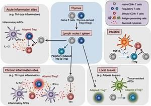 Adaptability Of Treg Cells  Treg Cells Effectively