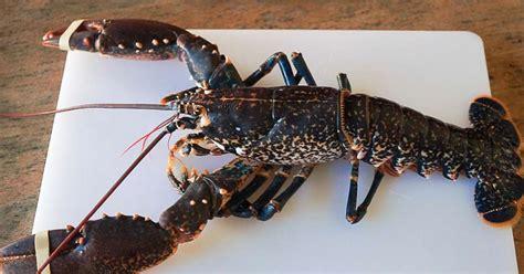 cuisiner le homard vivant cuisiner homard vivant maison design edfos com