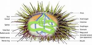 The Anatomy Of The Sea Urchin Strongylocentrotus