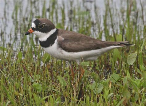 Semipalmated Plover (adult) - Outer Banks, North Carolina ...