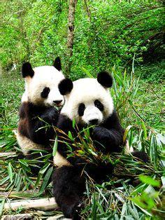 173 mejores im 225 genes de ositos pandas baby panda bears panda babies y baby pandas