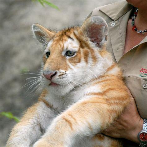 Golden Begal Tiger Cub Misc Animals Pinterest