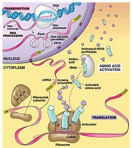 What Are The Differences Between Mrna  Trna  And Rrna