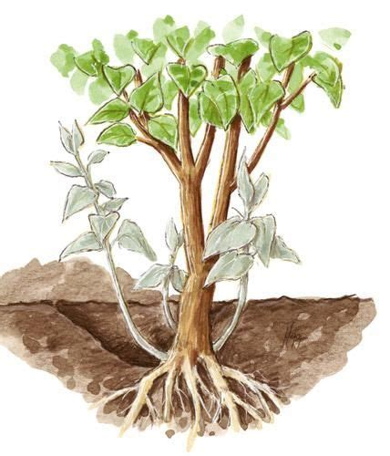 Flieder Pflanzen Schneiden Und Vermehren flieder pflanzen schneiden und vermehren pflanzen