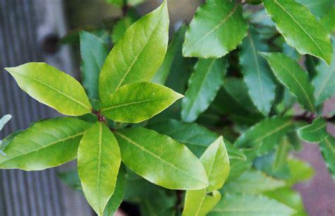 Beliebte Heilpflanze- & Aromatisches