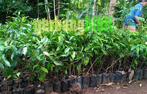 jual bibit tanaman hias pohon beringin murah lapak