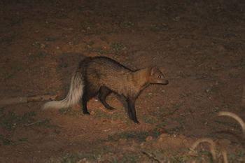 mongoose anatomy family diet studycom