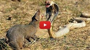 Animal attack Golden King Cobra Vs Mongoose! | Vinemoments