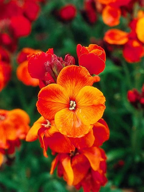 wallflower erysimum king fire cheiri garden plants fragrant flower seeds flowers cheiranthus gardening grow hgtv smell sun cottage orange easy