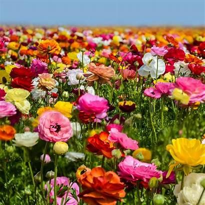 Flower Fields Ranunculus Bulbs Rainbow Tecolote Grow