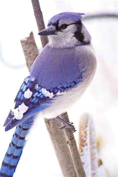 17 best images about blue jays on pinterest birds bird