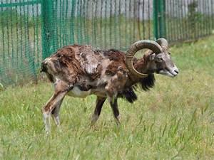 Mouflon /Ovis aries musimon/