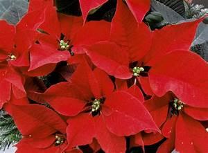 Weihnachtsstern Pflanze Kaufen : weihnachtsstern foto bild pflanzen pilze flechten ~ Michelbontemps.com Haus und Dekorationen