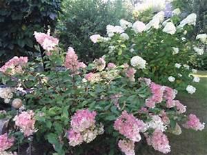 Hydrangea Paniculata Schneiden : hortensien hydrangea schneiden und pflegen gartenelfe ~ Lizthompson.info Haus und Dekorationen
