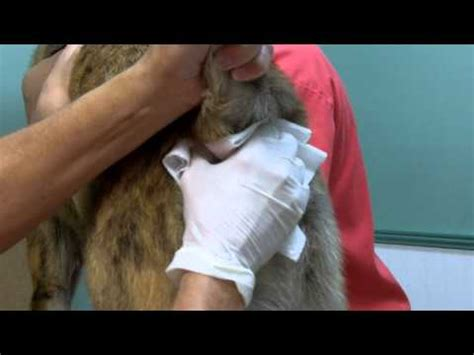 how to express cat glands video anal gland expression amc