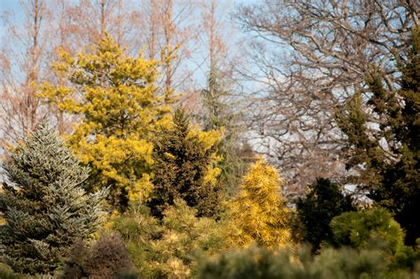 benenson ornamental conifers nybg