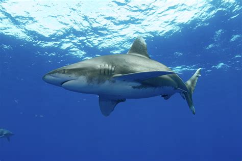 Shark Image Shark Attacks Rise Due To Climate Change Human Encounters