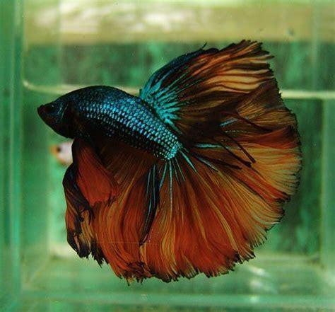 green fire dragon betta fish betta betta fish types