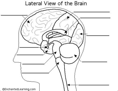 label brain diagram printout enchantedlearning