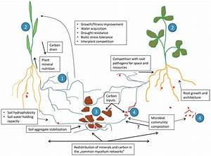 Image Gallery Mycorrhizal Symbiosis
